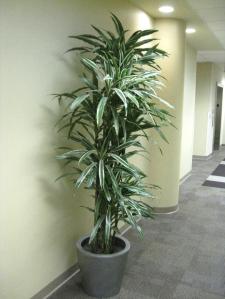Dracaena deremensis